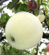 Whiteapple